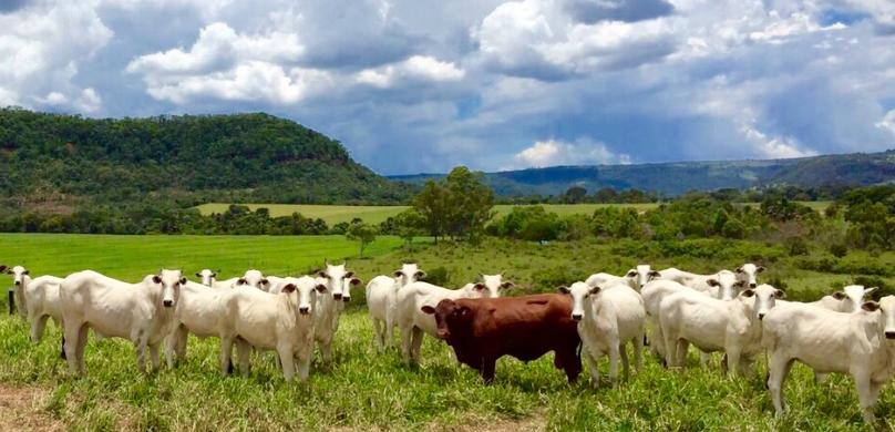 Cruzamento Senepol com Nelore o casamento perfeito para o rebanho bovino de carne brasileiro