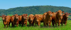 Senepol é a raça taurina que mais fatura em leilões no Brasil