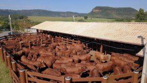 Entenda como é a criação dos touros no Senepol da Barra